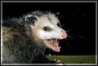Opossum_possum_removal_control