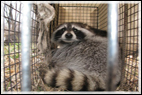 coon-in-cage