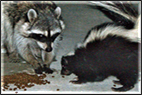 raccoon_skunk_control_removal_pest