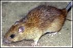 rat_mouse_problem_control