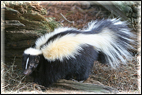 skunk_animal_removal_control